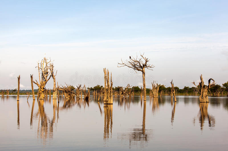 Amazon river. Dead trees on Igarape on Amazon river royalty free stock photo