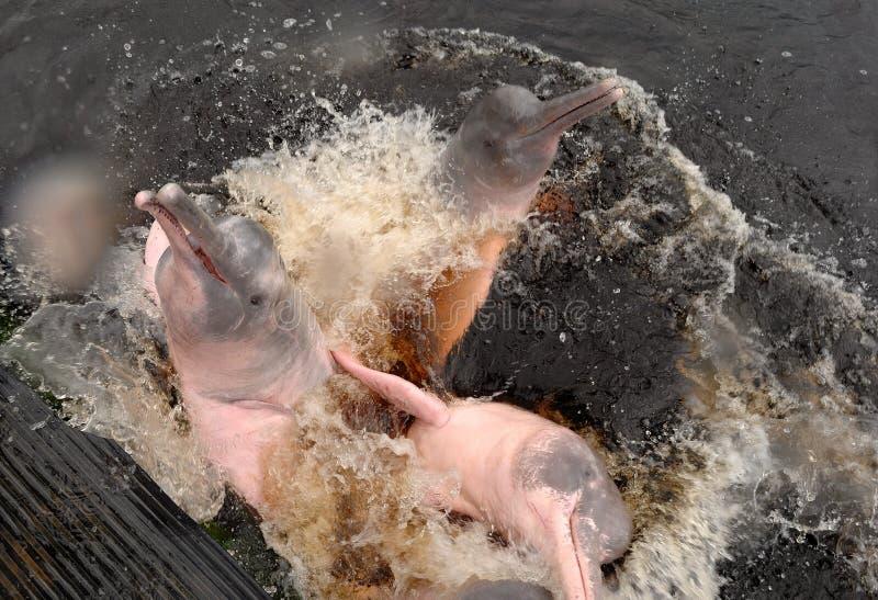 Amazon river dolphin royalty free stock photos