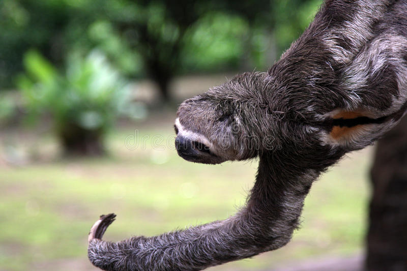 Amazon sloth hangs from branch. ( close up ) and reaches out / extends claw stock photography
