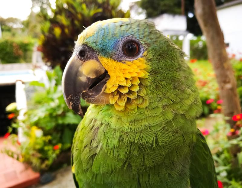 Amazona aestiva, green parrot with yellow cheeks and blue forehead. Amazona aestiva green parrot with yellow cheeks of beautiful plumage and blue forehead on a stock photo