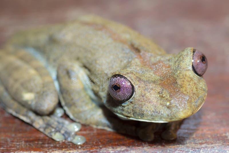 Amazonas-Grünbaumfrosch stockfoto