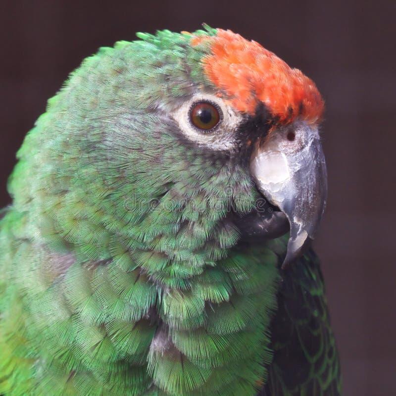 Amazonas Vermelho-coroadas 03 fotos de stock royalty free