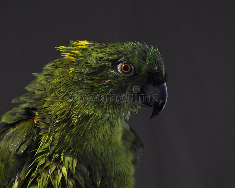 Amazone jaune-naped, auropalliata d'Amazona image stock
