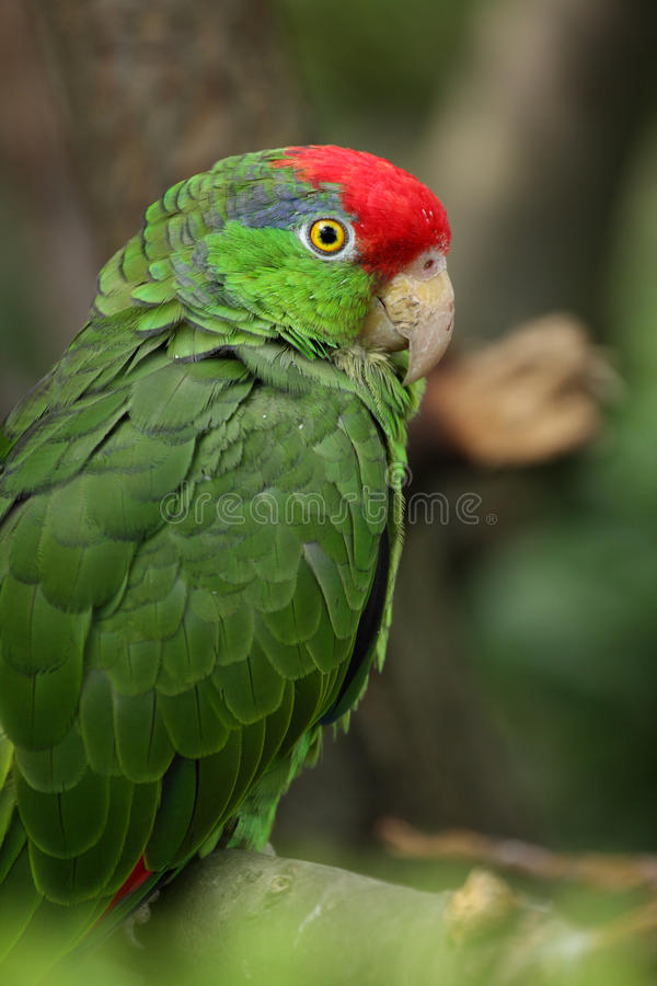 Amazone Rouge-couronnée photos libres de droits