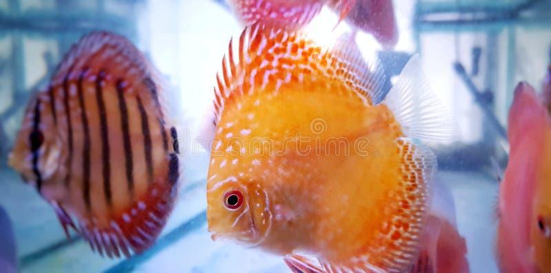 Amazonian discus fish - Symphysodon Discus royalty free stock photo