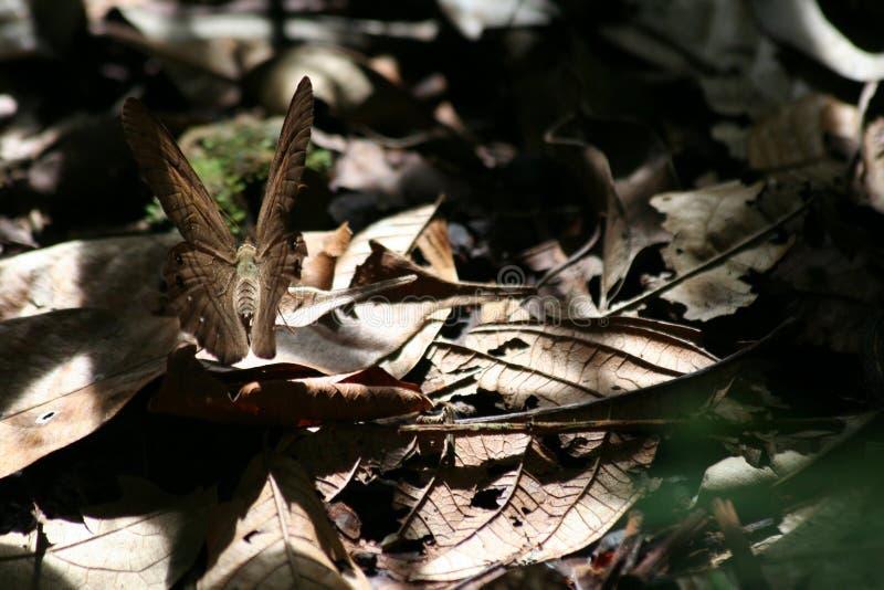 Amazonian Motyli kamuflaż zdjęcia stock