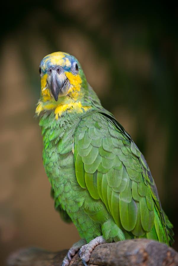 Amazonica alato arancio del Amazona del pappagallo di amazon immagini stock libere da diritti