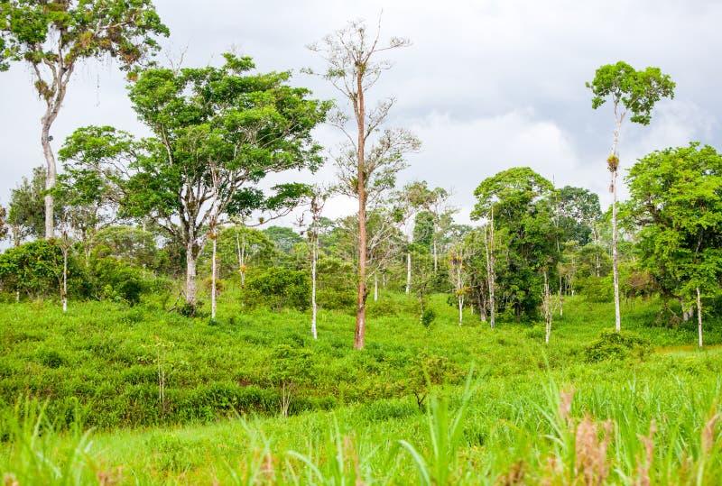 Amazonischer hauptsächlichdschungel stockfotografie