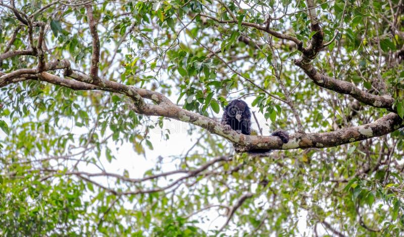 Amazonka i America małpa: Pithecia monachus, czarny huapo monkeyAmazon i America małpa: Pithecia monachus, czarna huapo małpa zdjęcie royalty free