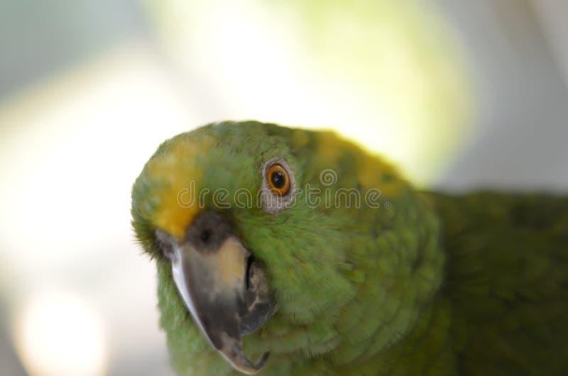 Amazonka koloru żółtego ogon zdjęcia royalty free