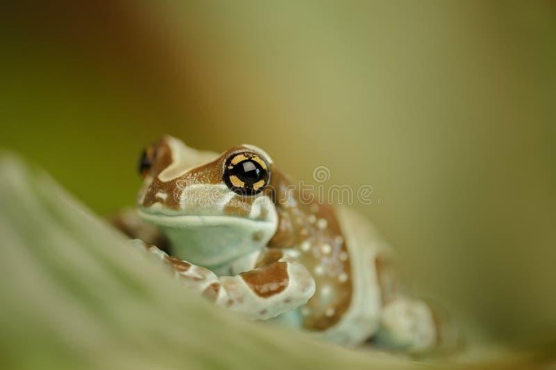 Amazonki dojna żaba na liściu fotografia stock