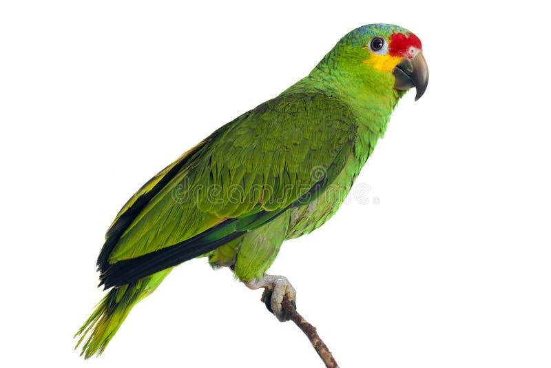 Amazonki papuga zdjęcie royalty free