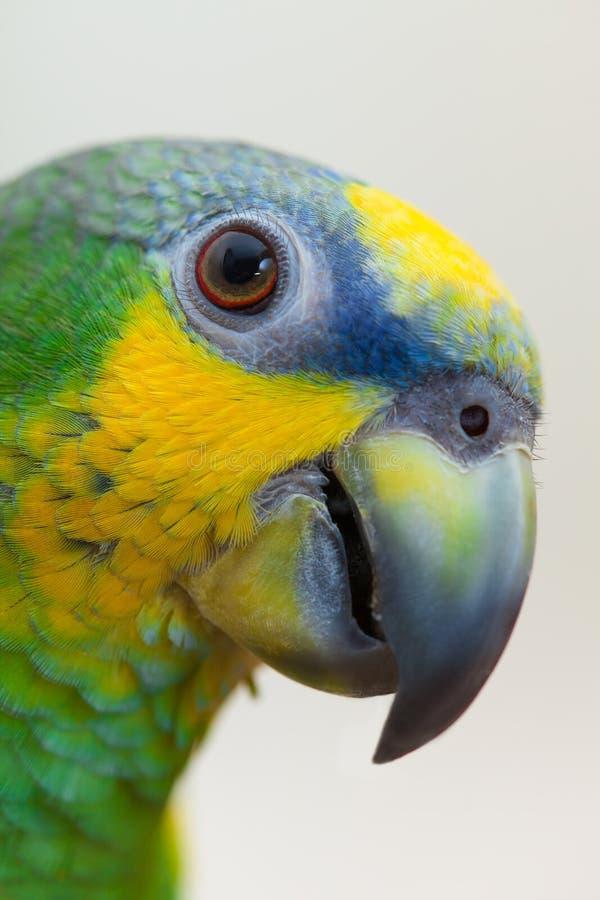 Amazonki portreta zielony papuzi zakończenie up obraz royalty free