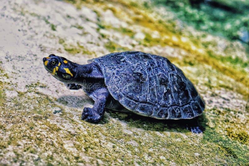 Amazonki rzeki żółw obraz royalty free