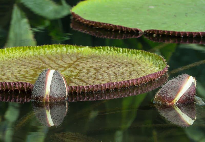 Amazonki wodnej lelui Wiktoria amazonica jest gatunki kwiatonośna roślina wielki grzybienie rodzina wodne leluje zdjęcie stock