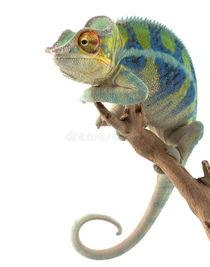 ambanja变色蜥蜴豹 免版税库存图片