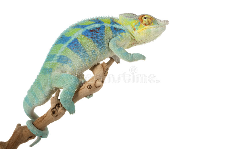 ambanja kameleonu pantera zdjęcia stock