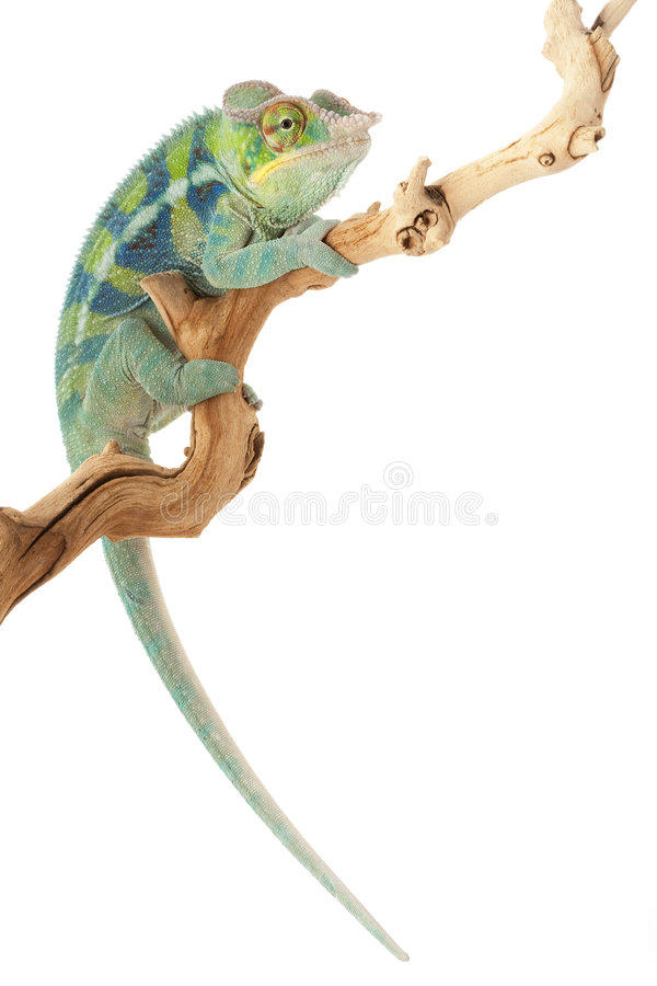 Ambanja Panther Chameleon stock photo