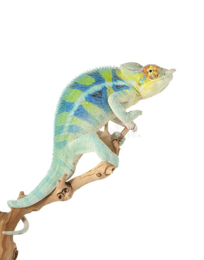 ambanjakameleontpanter arkivfoto