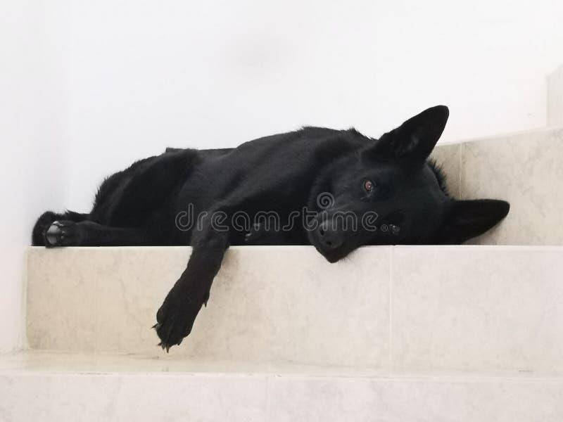 Ambar observe le chien noir images stock