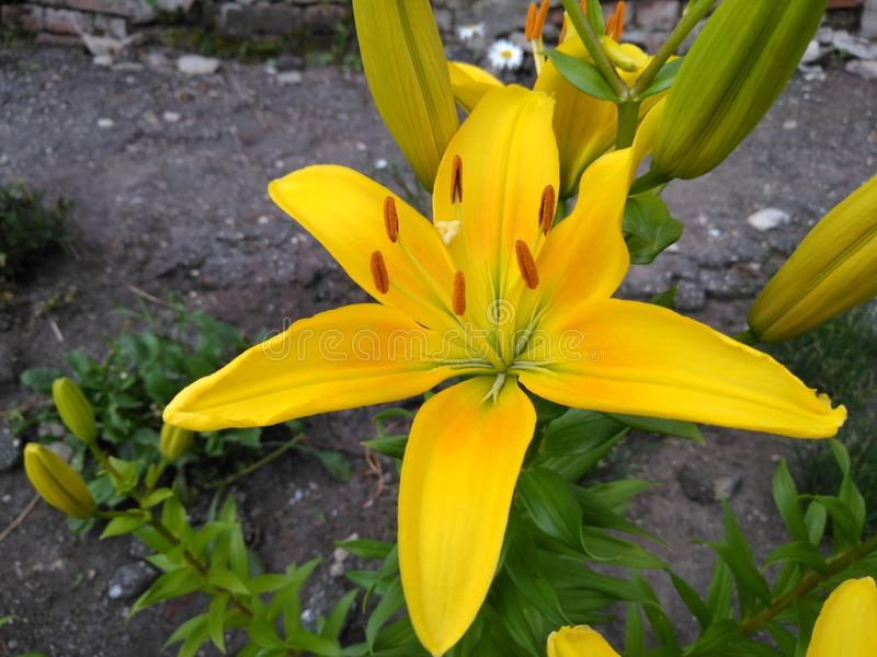 Amber en gouden bloem stock foto