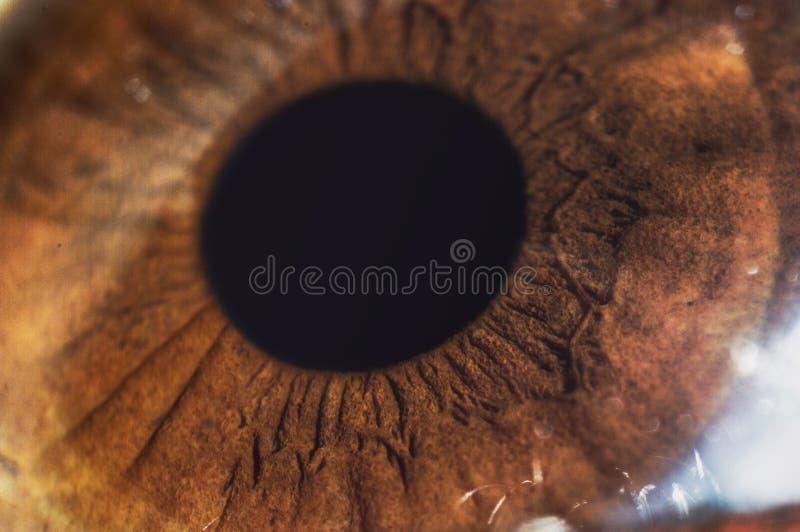 Amber eye macro. Brown (amber) human eye close up macro stock image