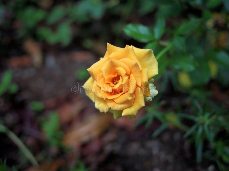 Amber Flush Rose royalty free stock image