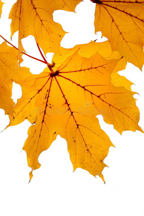 Amber leaves royalty free stock images