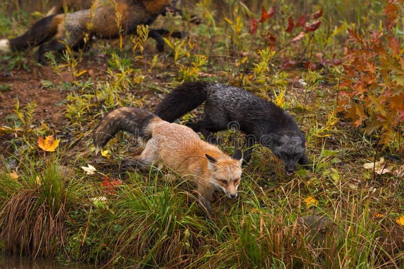 Amber Phase e o vulpes do Vulpes do Fox de prata cruzam de lado a lado corridas do Fox no fundo fotografia de stock