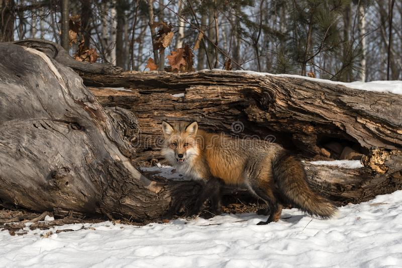 Amber Phase Red Fox Vulpes-Vulpes Blicke heraus vor Klotz stockbilder
