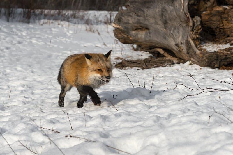 Amber Phase Red Fox Vulpes-Vulpes läuft vorwärts lizenzfreie stockfotos