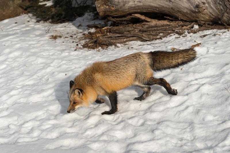 Amber Phase Red Fox Vulpes vulpes Walks Left Through Snow Winter. Captive animal stock image