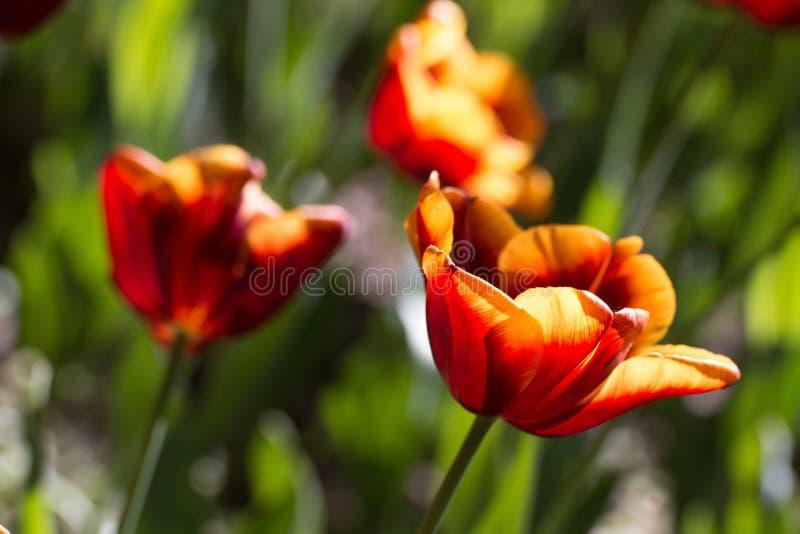 Amber-rode gradiënttulp die in de wind buigen stock afbeeldingen
