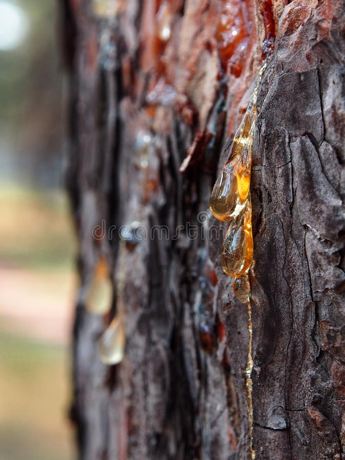 Amber tear. Resin flows from an open wound on a pine trunk. It glitters in the rays of the setting sun like amber tears royalty free stock photos