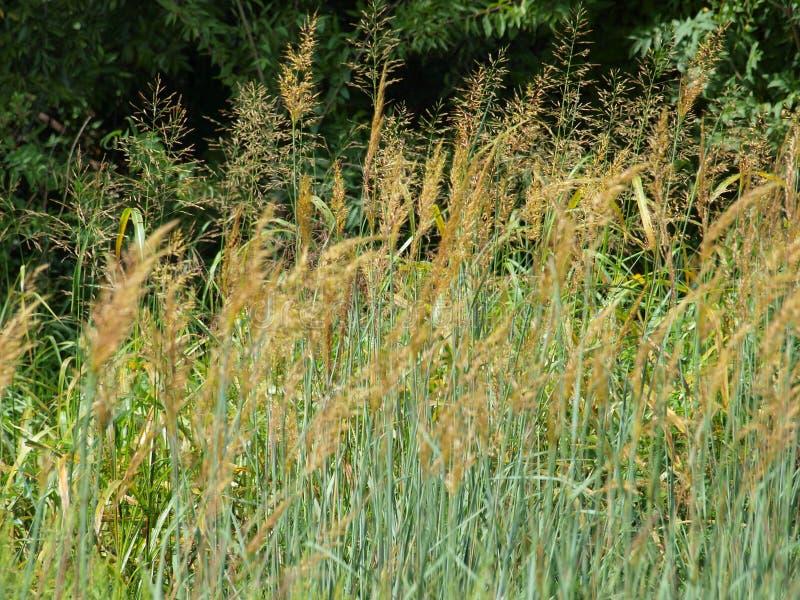 Amber Waves Of Grain Comes en gång varje få år arkivbilder