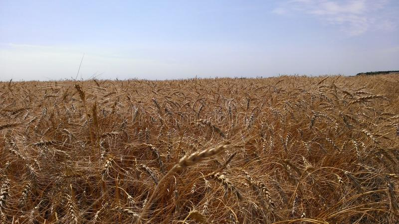 Amber Waves of Grain royalty free stock image