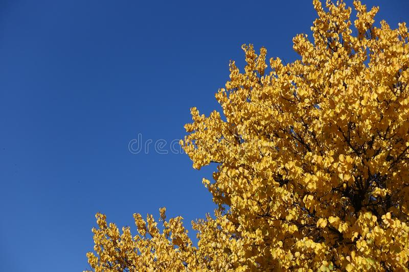 Amber yellow autumn leaves of apricot against blue sky. Amber yellow autumn leaves of apricot tree against blue sky royalty free stock photography