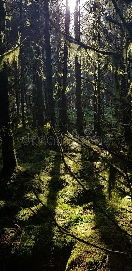 Ambient sun through trees. Forest, moss stock image