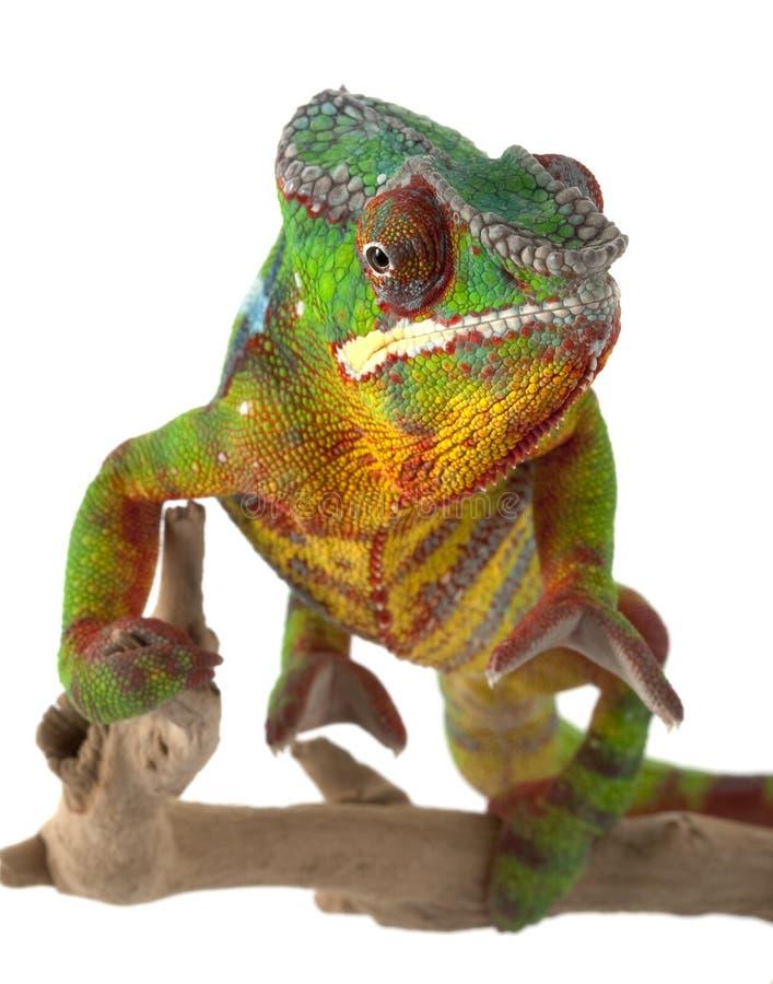 Ambilobe Panther Chameleon stock photo