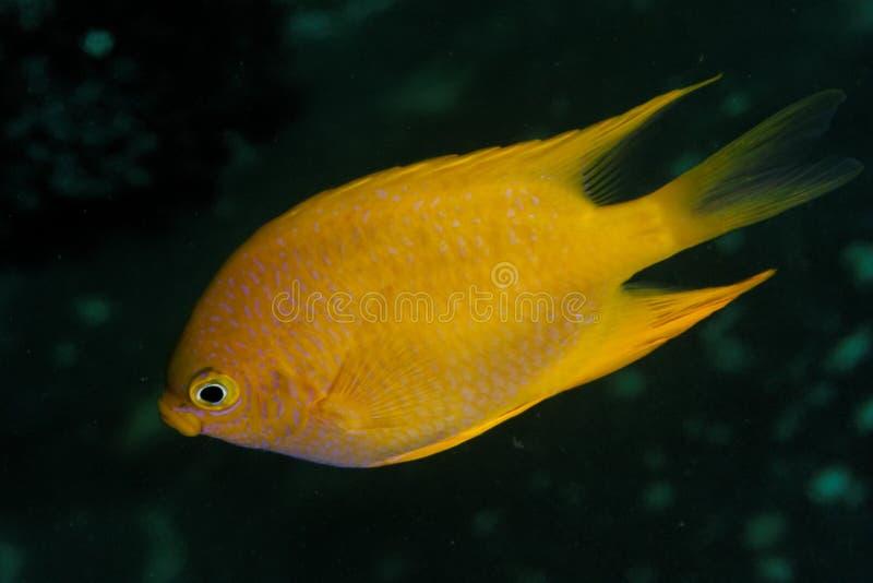Amblyglyphidodon áureo - mar de Andaman foto de stock