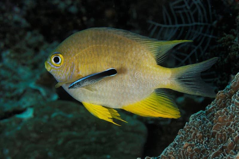 Amblyglyphidodon χρυσό - χρυσό δεσποινάριο στοκ φωτογραφίες