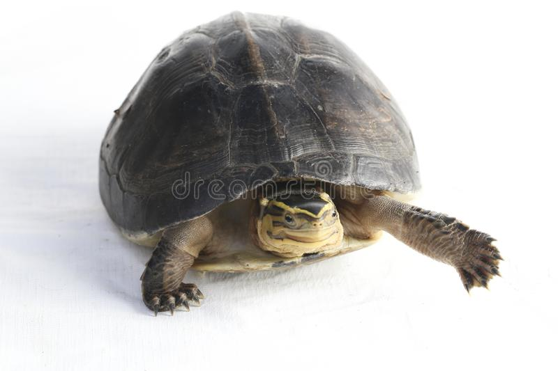 The Amboina box turtle Cuora amboinensis, or southeast Asian box turtle. On white background stock image