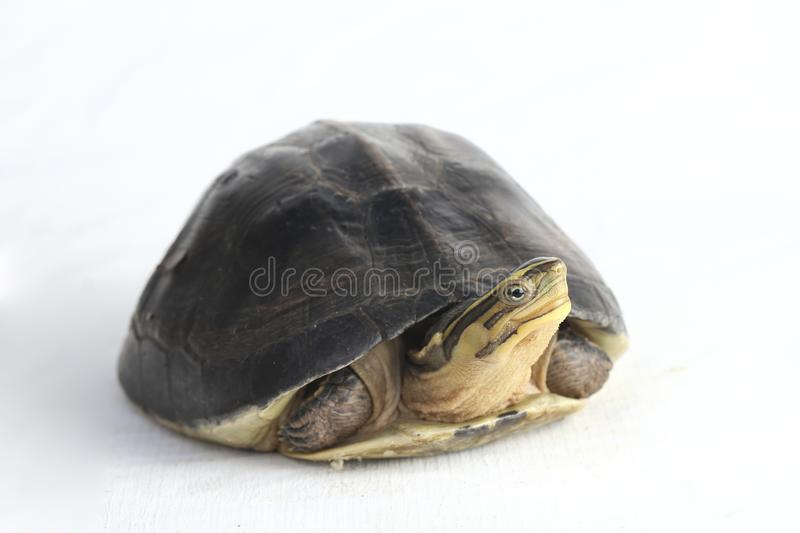 The Amboina box turtle Cuora amboinensis, or southeast Asian box turtle. On white background stock images