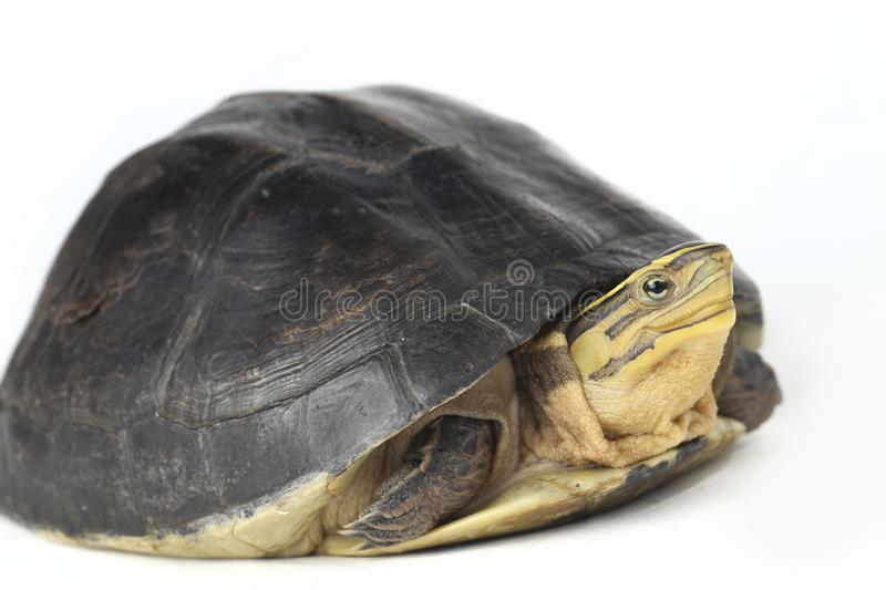 The Amboina box turtle Cuora amboinensis, or southeast Asian box turtle. Isolated on white background stock images