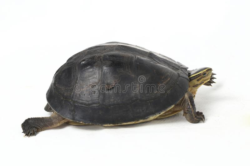 The Amboina box turtle Cuora amboinensis, or southeast Asian box turtle. Isolated on white background royalty free stock photos