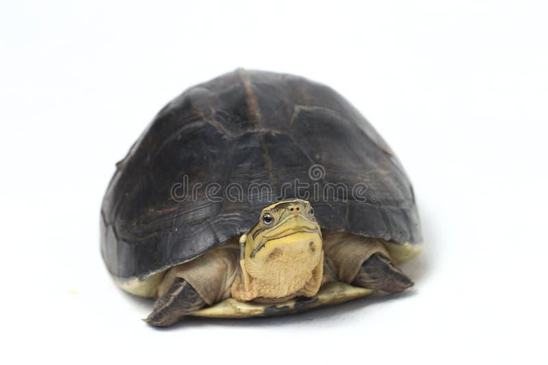 The Amboina box turtle Cuora amboinensis, or southeast Asian box turtle. Isolated on white background stock photo