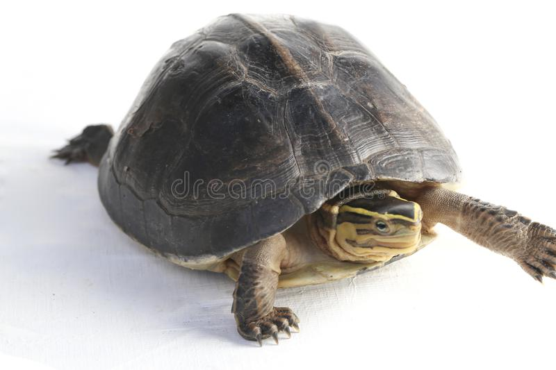 The Amboina box turtle Cuora amboinensis, or southeast Asian box turtle. On white background royalty free stock photos