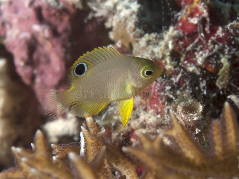 Ambon damsel. In Bohol sea, Phlippines Islands royalty free stock photos