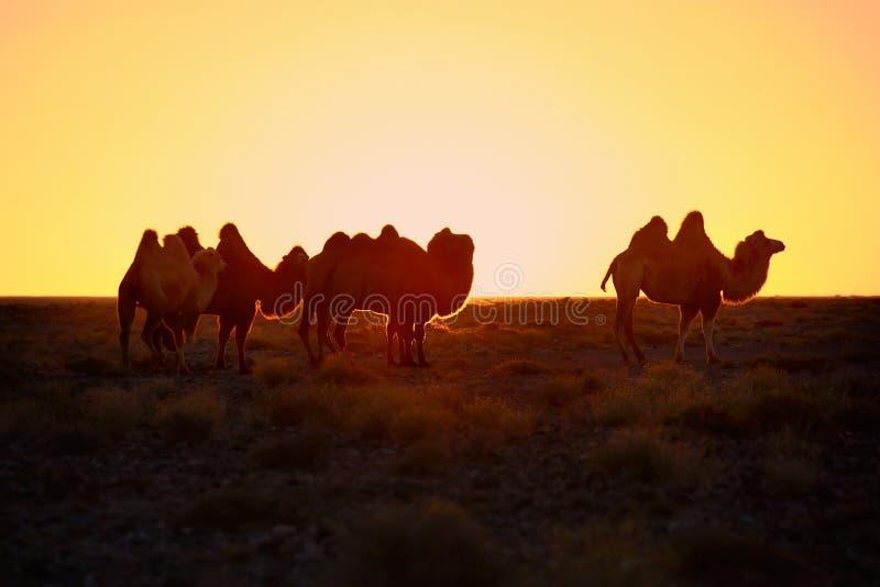 Ambos o camelo fotografia de stock