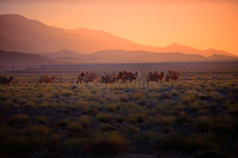 Ambos o camelo imagem de stock royalty free